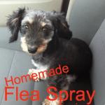 Homemade Flea Spray Recipe for Dogs!!!  (Chemical free)