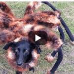 Pet Halloween Costume Idea:  Giant Spider Dog Costume