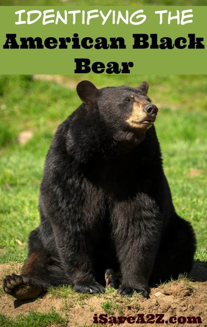 Identifying The American Black Bear Country Living Tips